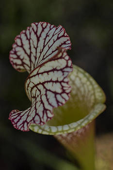 Crimson Pitcher Plant  by Julie Andel