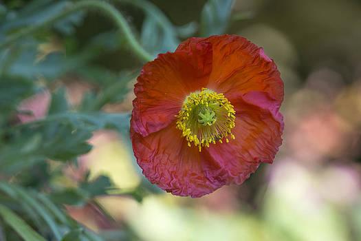 Crimson-Red Poppy by Dora Korzuchowska