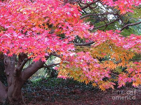 Crisp Maple Tree by Anita Adams