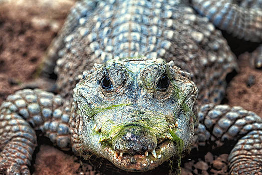 Crocodile close-up by Goyo Ambrosio