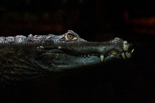 Crocodile by Erik Tanghe