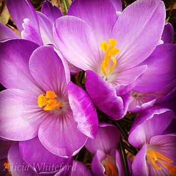 Crocus  by Alicia Whiteford