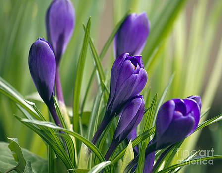 Crocus by Denise Woldring
