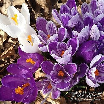 Crocus Explosion! #nofilter #phonto by Teresa Mucha