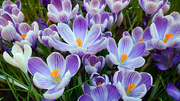 Crocus Flowers by Gillian Dernie