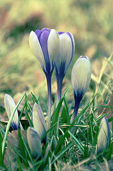 Gynt   - Crocuses bloom