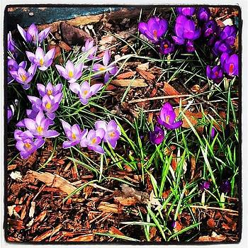 Crocuses In Our Side Garden by A R