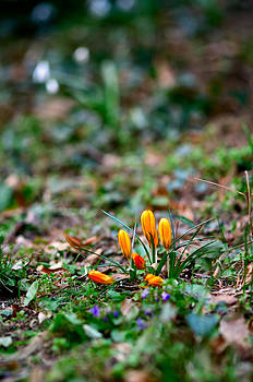 Crocuses by Oleksandr Maistrenko