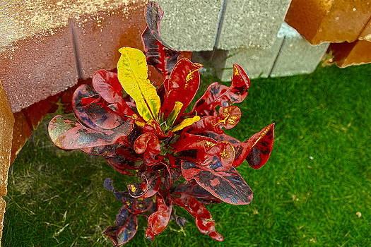 Sandra Pena de Ortiz - Croton impressus