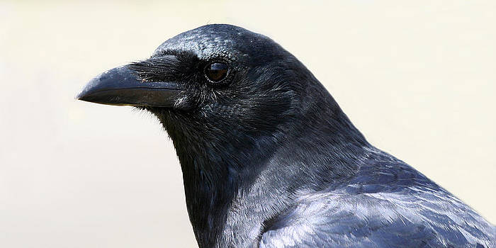 Crow by Bob and Jan Shriner