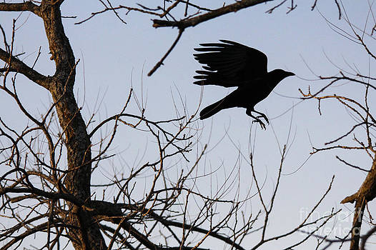 Crow in flight by Jill Bell
