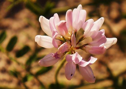 Dawn Hagar - Crown Vetch