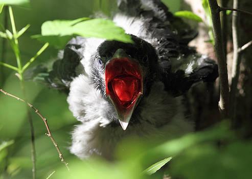 Crying crow by Alex Sukonkin