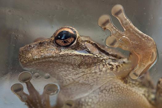 Paul Rebmann - Cuban Treefrog