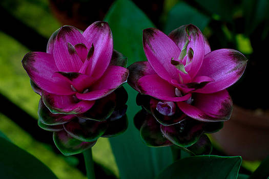 Curcuma Angustifolia Singapore Flower by Donald Chen