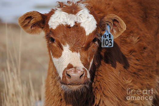 Curious Calf 103 by J Bern Hunt