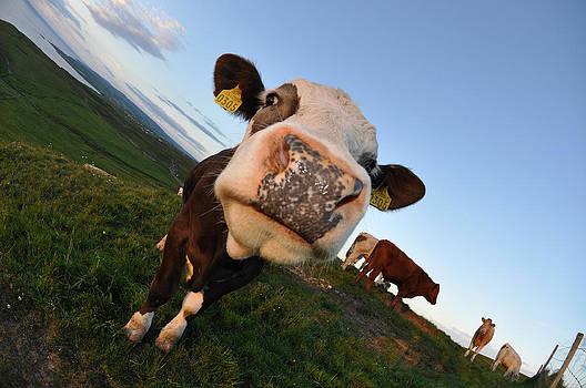 Curious Cow by Keith Harkin