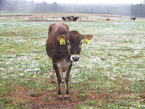 Curious Cow by Kevin Croitz