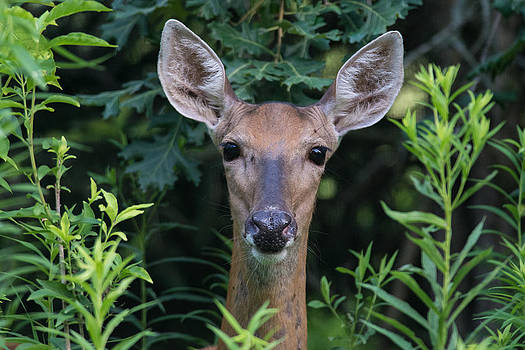 Curious Doe Up Close by Christopher L Nelson