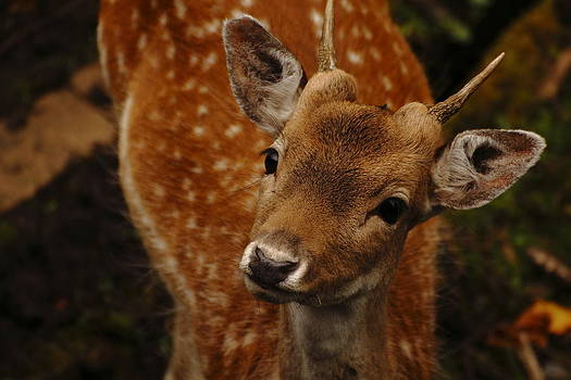 Curious fawn by Guillermo Bardavio