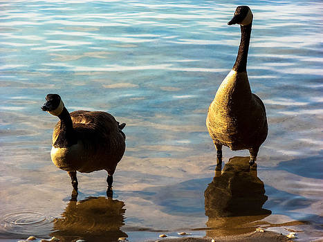 Curious Geese by Heather Sylvia