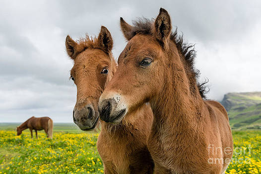 Curious Icelandic Foals by Heather Swan