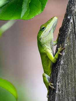 Curious Little Green Anole by Qing Yang