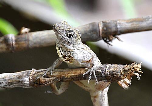 Rebecca Brittain - Curious Lizard Florida Anole