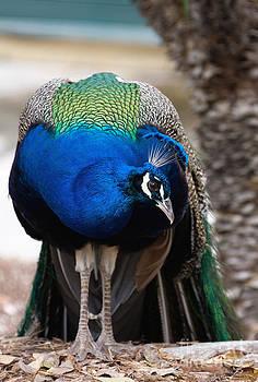 Curious Peacock by Zsuzsanna Szugyi