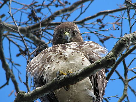 Curious Red-Tailed Hawk by Keith Rohmann