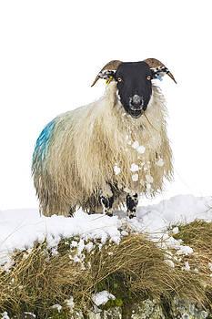 David Taylor - Curious sheep