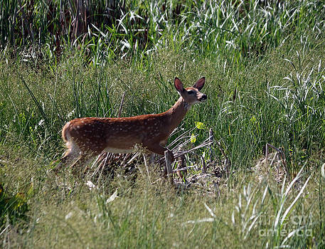 Curious whitetail deer by Lori Tordsen