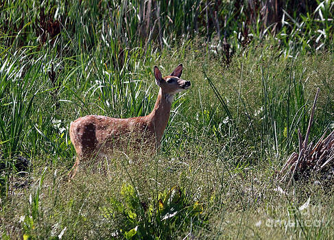Curious whitetail  by Lori Tordsen