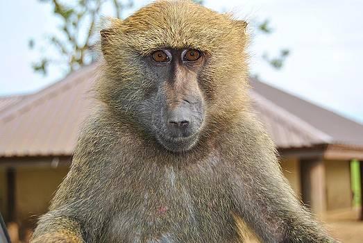 Cute Ape by Paul Fox