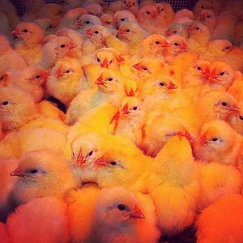 #cute #fluffy #chicks #instagood by Julia Goldberg
