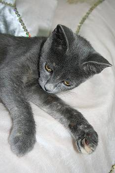 Tracey Harrington-Simpson - Cute Grey Kitten Relaxing