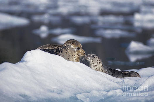 cute picture of mother and pup harbor seals touching noses on iceberg near glacier in Alaska by Brandon Cole