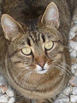 Tracey Harrington-Simpson - Cute Tabby Cat Portrait