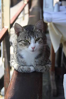 Tracey Harrington-Simpson - Cute Tabby Cat Sitting On The Fence