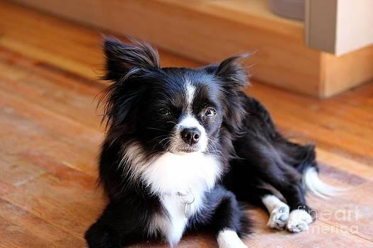 Janice Byer - Cutie Black Chihuahua