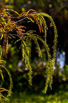 Cypress Branches by Ed Gleichman