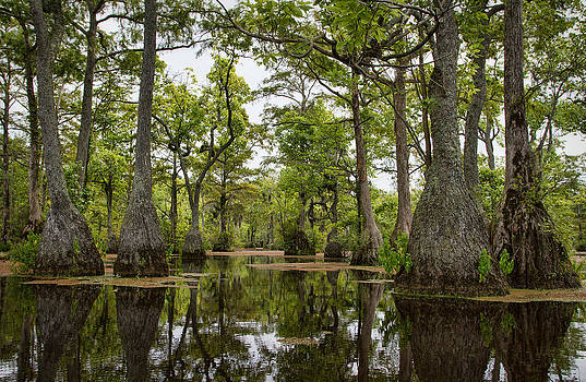 Cypress Forest by Greg Mills