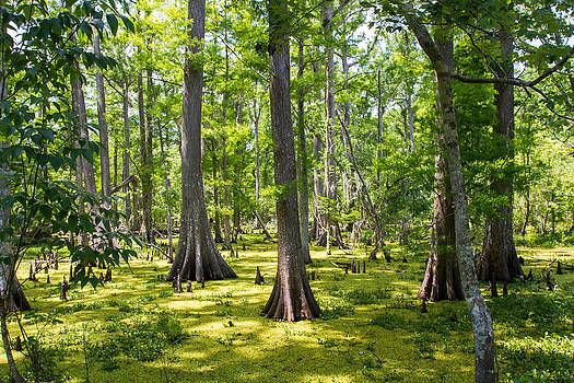 Cypress Swamp by JP Lawrence