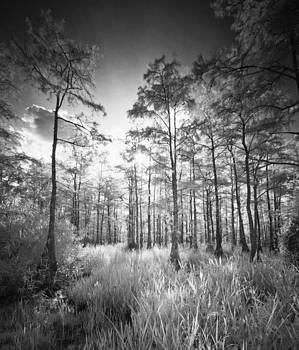 Cypress Trees In Big Cypress by Bradley R Youngberg