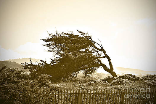 Artist and Photographer Laura Wrede - Cypress Trees in Monterey