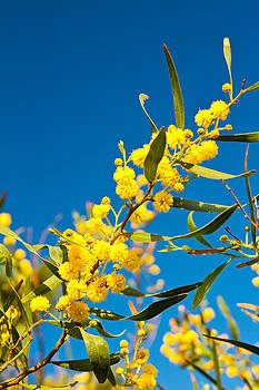 Fizzy Image - Cypriot Flower