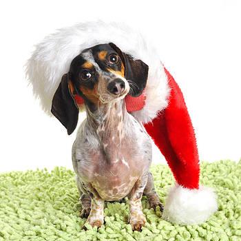 Rebecca Brittain - Dachsund Weiner Dog in Santa Hat