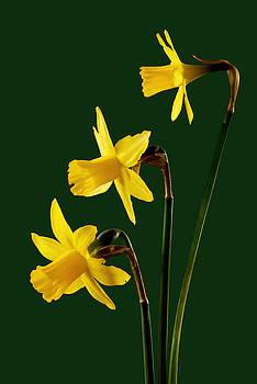Daffodil arrangment by Pete Hemington