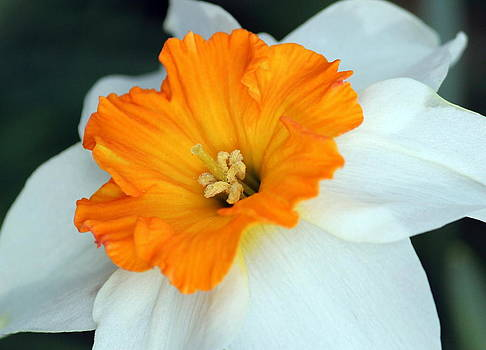 Rosanne Jordan - Daffodil Bloom
