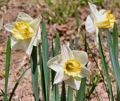 Daffodil Congress by Dana Carroll
